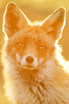 Enlightened Fox Poster by Roeselien Raimond