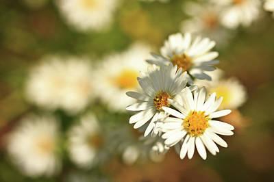 Erigeron Annuus Daisy Like Wildflower Poster