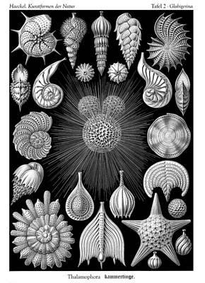 Ernst Haeckel - Thalamorpha Plate Poster by Ambro Fine Art