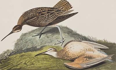 Esquimaux Curlew Poster by John James Audubon