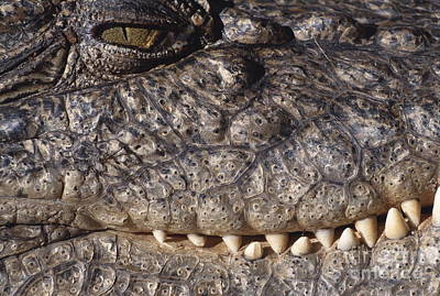 Estuarine Crocodile Poster by Daniel Zupanc