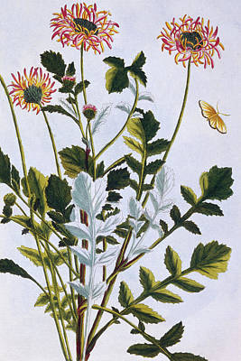 Ethiopian Arcotis  African Lily Poster by Pierre-Joseph Buchoz