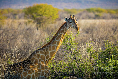 Etosha Giraffe Poster by Inge Johnsson