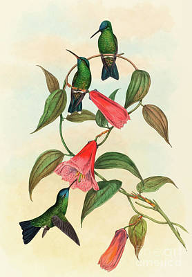 Eucephala Smaragdocaerulea  Gould's Wood Nymph Poster by John Gould