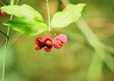 Euonymus Americanus  American Strawberry Bush Poster