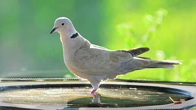 Eurasian Collard Dove In Birdbath Poster