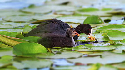 Eurasian Or Common Coot, Fulicula Atra, Duck And Duckling Poster by Elenarts - Elena Duvernay photo