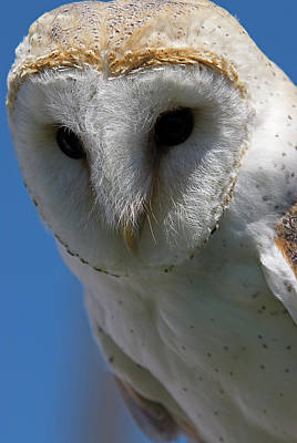 Poster featuring the photograph European Barn Owl by JT Lewis