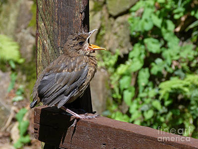European Blackbird Chick Poster