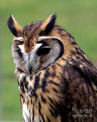 Eurasian Striped  Owl Poster