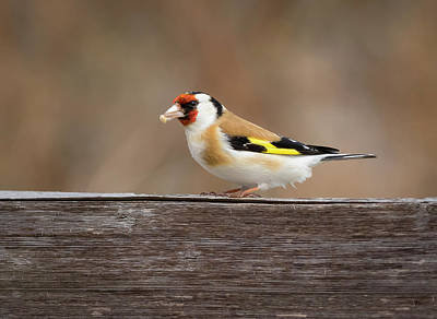 Poster featuring the photograph European Goldfinch In Kenosha by Ricky L Jones