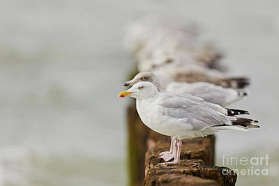 European Herring Gulls In A Row Fading In The Background Poster