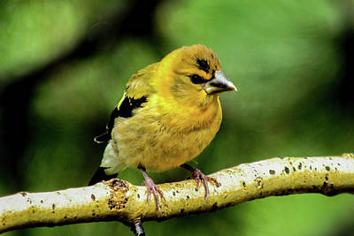 Evening Grosbeak Baby Poster by Marilyn Burton