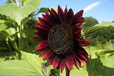 Evening Sun Sunflower #1 Poster