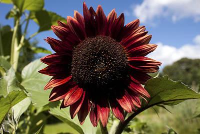 Evening Sun Sunflower #2 Poster