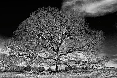 Ever Expanding Red Oak Tree Art Poster