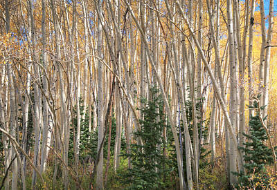 Evergreens And Aspens Poster