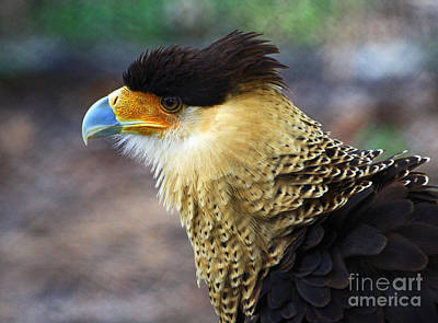 Excited Caracara Poster