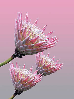 Exotic King Protea Poster by Gill Billington