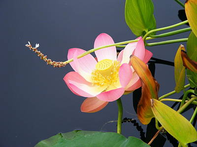 Poster featuring the photograph Exotic Waterlily by Margie Avellino