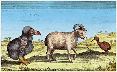Extinct Dodo, One-horned Sheep, Red Poster by Science Source