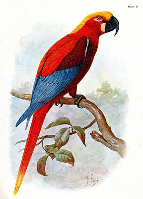 Extinct Jamaican Red Macaw, Ara Gossei Poster by Wellcome Images