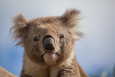 Extreme Closeup Of Koala Poster