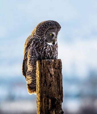 Eye On The Prize - Great Gray Owl Poster by TL Mair