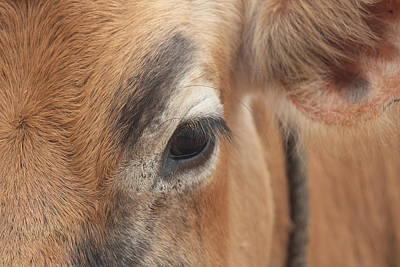 Eyebrow Cow/bull Closeup, Kodaikanal Poster by Jennifer Mazzucco