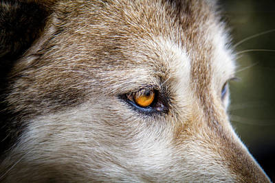 Poster featuring the photograph Eyes Of The Gray Wolf by Teri Virbickis