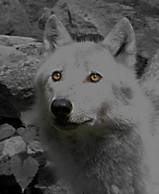 Poster featuring the photograph Eyes Of The Wolf by Debra     Vatalaro