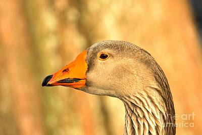 Face Of A Toulouse Goose Poster by Adam Jewell