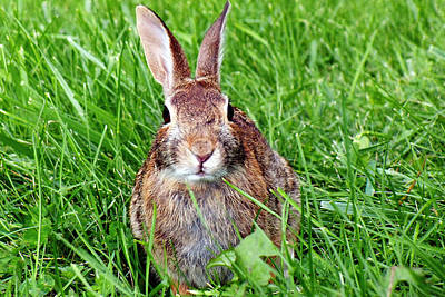 Face To To Face With The Cottontail Rabbit Poster