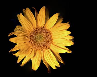 Fading Sunflower Poster