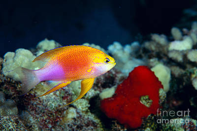 Fairy Anthias Poster
