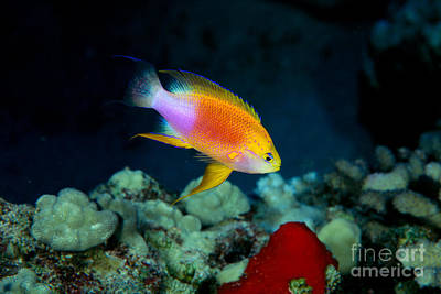 Fairy Anthias Male Poster by Dave Fleetham - Printscapes