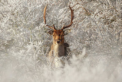 Fairytale Fallow Deer In The Frost Poster