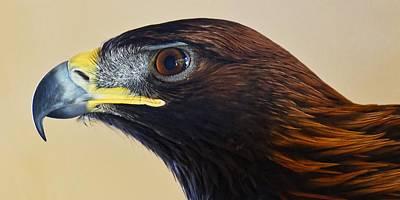 Falconer's Hawk - Harris Hawk Poster