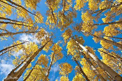 Fall Colored Aspens In The Inner Basin Poster