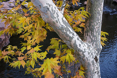 Fall Colors At Slide Rock Arizona- Tree Bark Poster by Dave Dilli