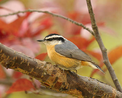 Fall Colors Nuthatch Poster by Lara Ellis