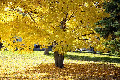 Fall Maple Tree With Bright Yellow Leaves Poster by Norman Pogson