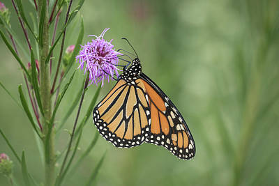 Fall Monarch 2016-2 Poster by Thomas Young