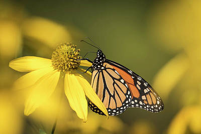 Fall Monarch 2016-5 Poster by Thomas Young