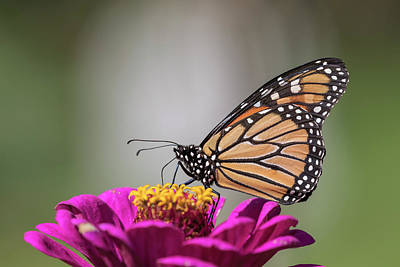 Fall Monarch 2016-6 Poster by Thomas Young