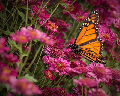 Poster featuring the photograph Fall Monarch  by Julie Andel