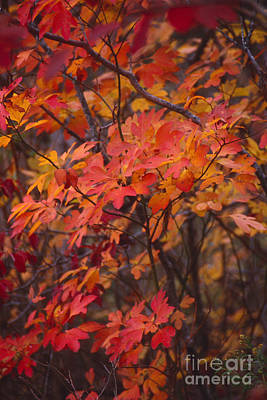 Fall Sassafras Poster by Lowell Anderson