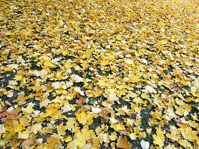Fallen Maple Leaves Poster