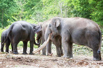 Family Of Asian Elephant  Poster