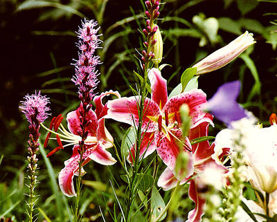 Fancy Lilies In Garden Poster